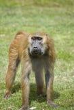 1 baboon Στοκ Εικόνες