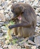 1 baboongelada Royaltyfri Bild