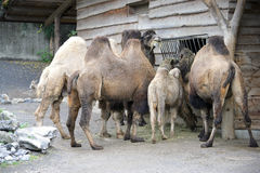 1 bactrian верблюд Стоковое Изображение