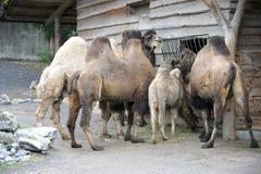 1 bactrian kamel Fotografering för Bildbyråer