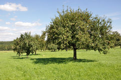 1 baden фруктовые дерев дерев поля Стоковая Фотография