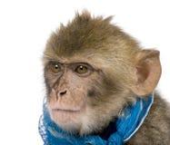 (1) Barbary macaca makaka starzy sylvanus rok potomstwa Zdjęcia Stock