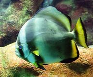 1 batfish Arkivbild