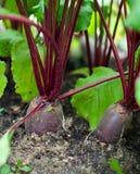 (1) beetroot uprawia ogródek czerwień Zdjęcia Stock