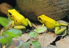 1 bicolored отрава лягушки дротика Стоковое фото RF