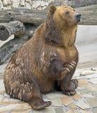 1 björnbrown Royaltyfri Fotografi