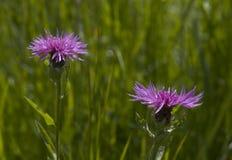 1 blommathistle Royaltyfri Fotografi