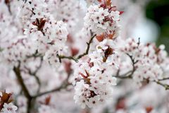 1 blomningCherry Arkivfoto