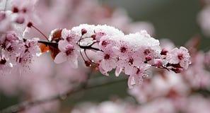 1 blomningCherrysnow Royaltyfri Bild