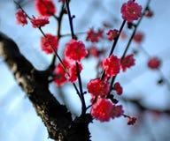 1 blomstra plommon Royaltyfria Bilder