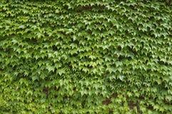 (1) bluszcza fotografii zapas Obraz Stock