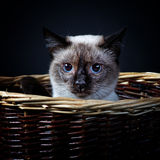 1 bobtail katt mekong Royaltyfri Foto