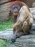 1 bornean orangutan Arkivbilder