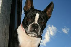 1 boston terrier Arkivfoto