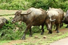 1 bufflar vietnam Arkivbilder