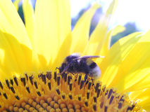 1 bumblebee Στοκ Φωτογραφίες