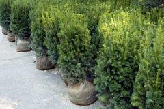 1 burlap σφαιρών νεολαία δέντρων ρίζας έλατου Στοκ Εικόνες