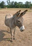 1 burro Стоковые Изображения