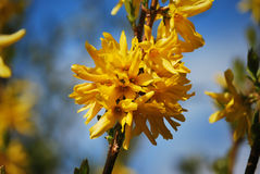 1 bush цветет forsythia стоковые изображения