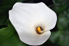 1 calla lilly Arkivbilder