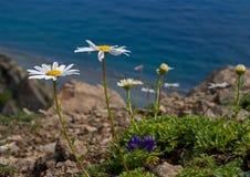 1 camomilla fiorisce il mare Fotografia Stock