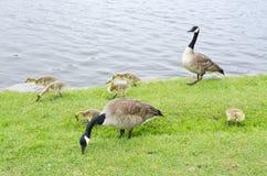 (1) Canada rodzinne gąski rzeczne Zdjęcia Stock