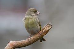 1 carduelischlorisgreenfinch Arkivfoto