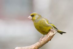 1 carduelischlorisgreenfinch Royaltyfri Bild