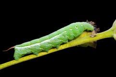 1 caterpillarhawkmoth Royaltyfri Foto