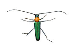 1 cerambycidae козерога жука Стоковые Фотографии RF