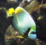 1 cesarz angelfish Zdjęcia Stock