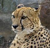 1 cheetah Στοκ φωτογραφία με δικαίωμα ελεύθερης χρήσης