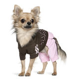 1 chihuahua klädde gammala plattform år Royaltyfri Fotografi