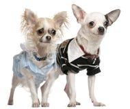 (1) chihuahua para ubierający stary rok Zdjęcie Stock