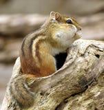 1 chipmunk Стоковое Изображение