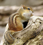 1 chipmunk Στοκ Εικόνα