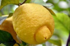 1 citrontree Arkivfoto