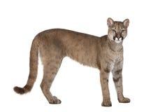 1 concolor崽老纵向美洲狮年 库存图片
