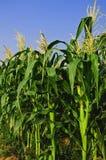 1 cornfield Arkivbilder