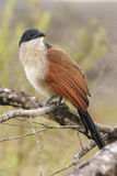 1 coucal burchell Royaltyfri Fotografi