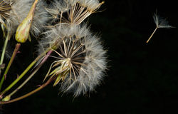 (1) dandelion Fotografia Royalty Free