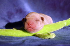 1 day old sharpei sleeping. Small fawn coloured baby sharpei sleeping Stock Image