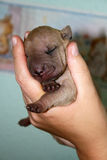 1 day old sharpei sleeping in hands. Small fawn coloured baby sharpei sleeping in human hands Royalty Free Stock Photography