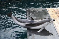 1 delfinów Obrazy Stock