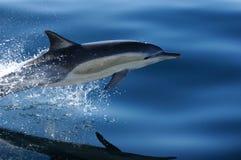 1 delfin för 4 common Arkivfoton