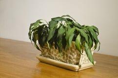 (1) domowa roślina więdnął Zdjęcia Stock