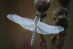 1 dragonfly Стоковое Фото