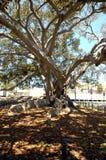 1 drzewo figowe Zdjęcia Stock