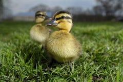 1 duckling Royaltyfri Bild