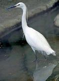 1 egret немногая Стоковое фото RF